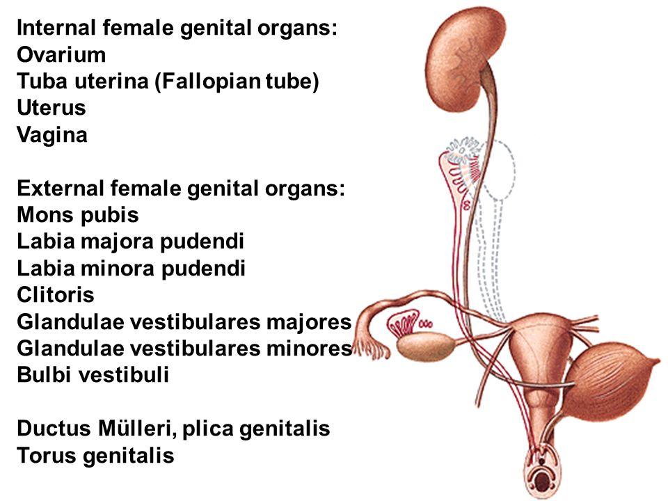 FEMALE GENITAL ORGANS. - ppt video online download