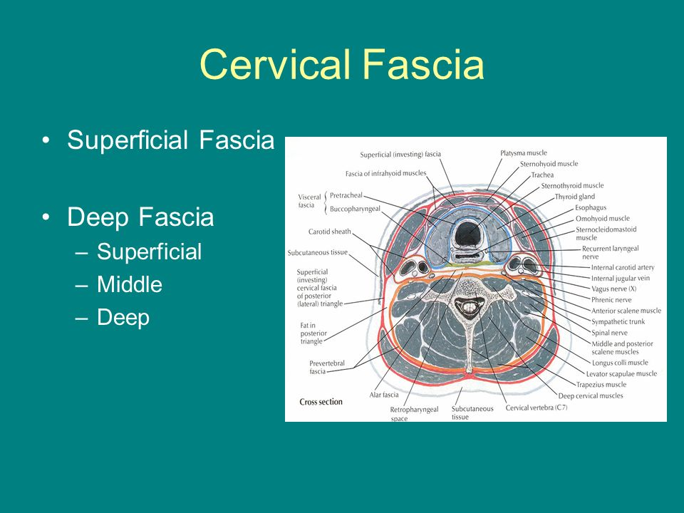 Deep Neck Spaces: Surgical Anatomy and Infections - ppt video online ...
