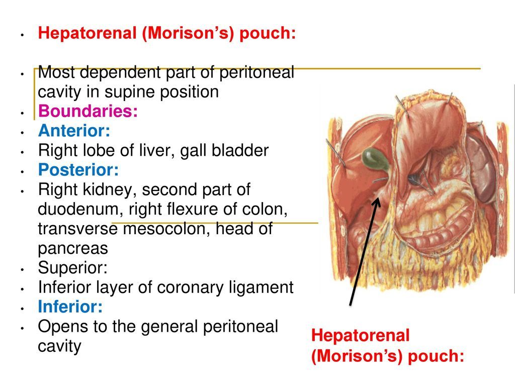 Abdominal organs and peritoneum - ppt video online download