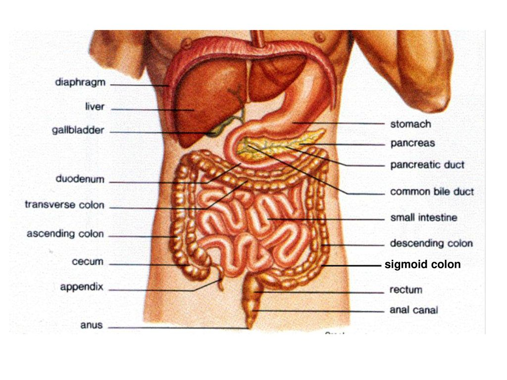 Abdominal Organs And Peritoneum Ppt Video Online Download