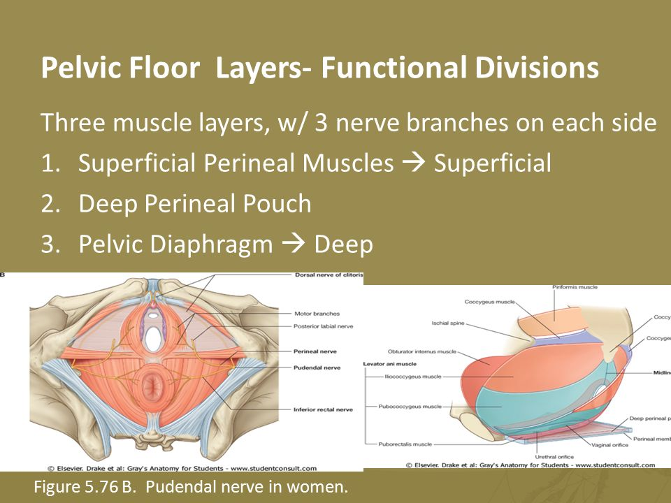 A Theraband Demo Of Pelvic Floor Muscle Joints And Fascia Ppt