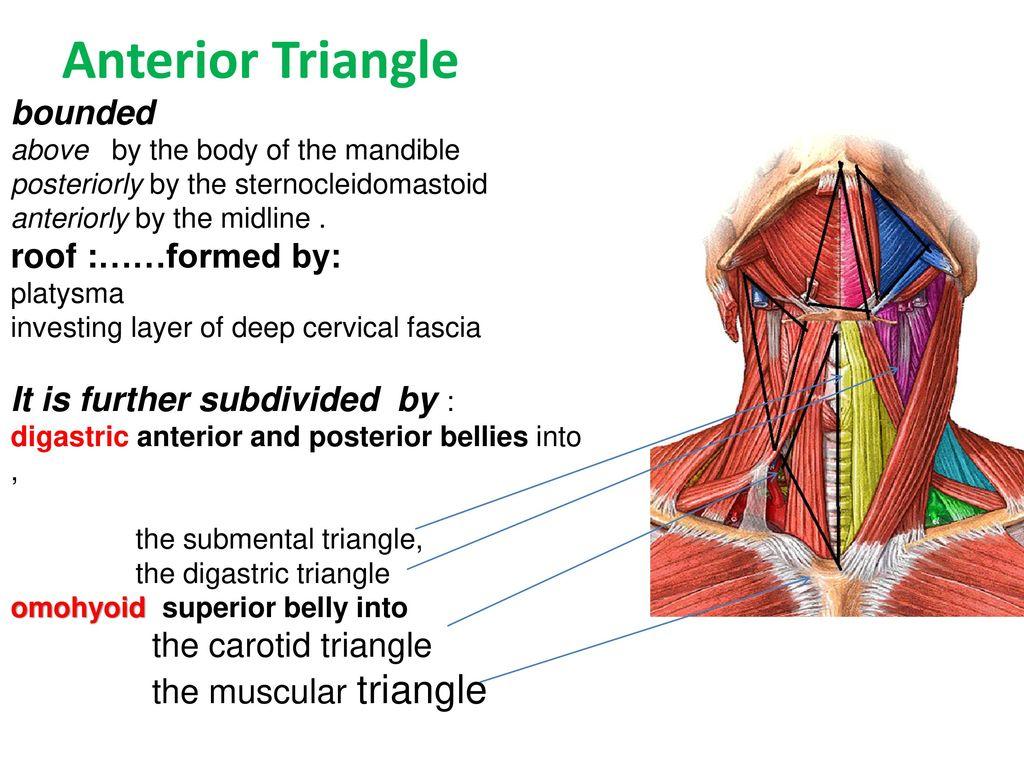 Anatomy of neck Dr. Muslim Kandel ppt download