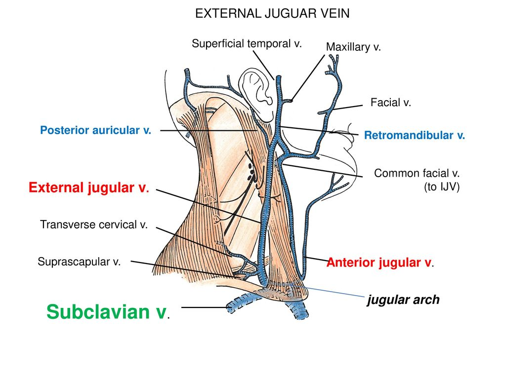 jugular vein pressure - HD1024×768