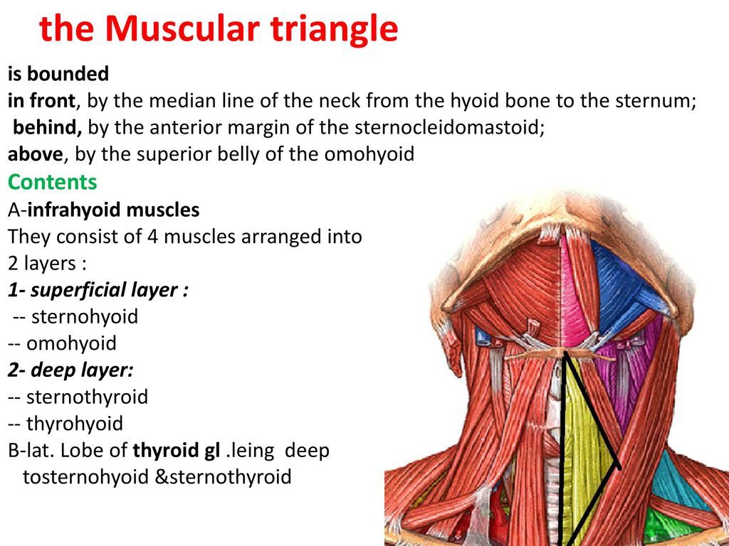 Anatomy of neck Dr. Muslim Kandel ppt download