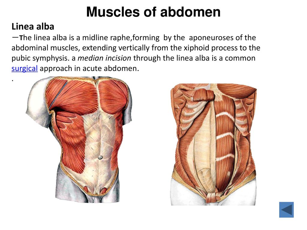 The Abdomen Lee Human Anatomy The Abdomen Lee Ppt Video Online