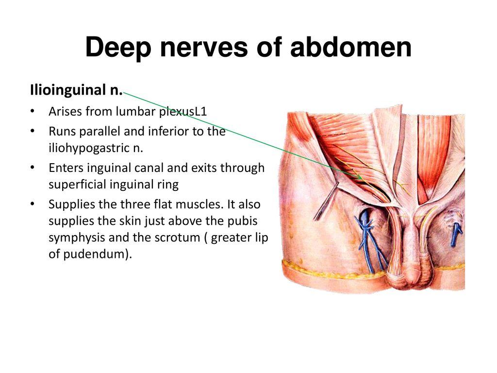The Abdomen Lee Human Anatomy The Abdomen Lee Ppt Video Online