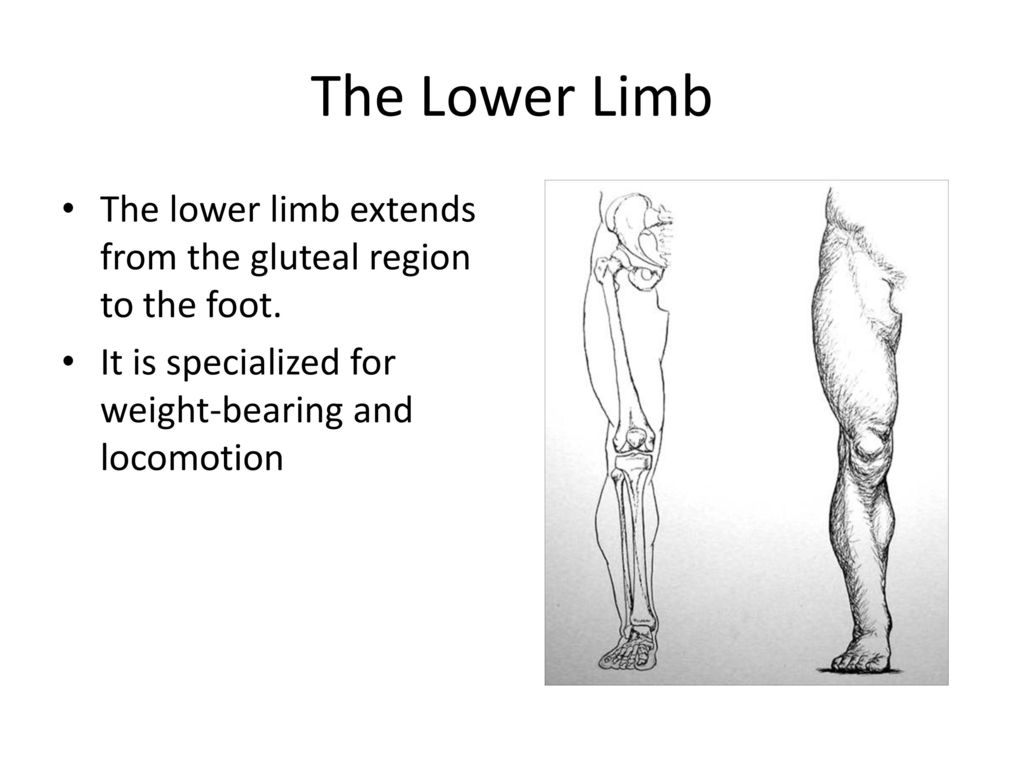 ANATOMY OF THE LOWER LIMB - ppt download