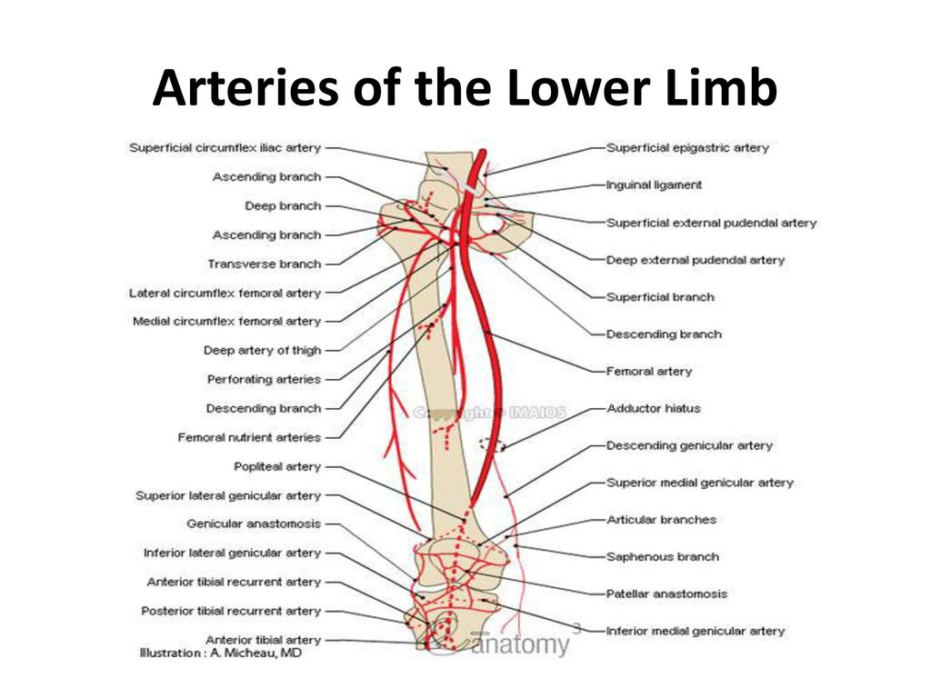 Anatomy Of The Lower Limb Ppt Download