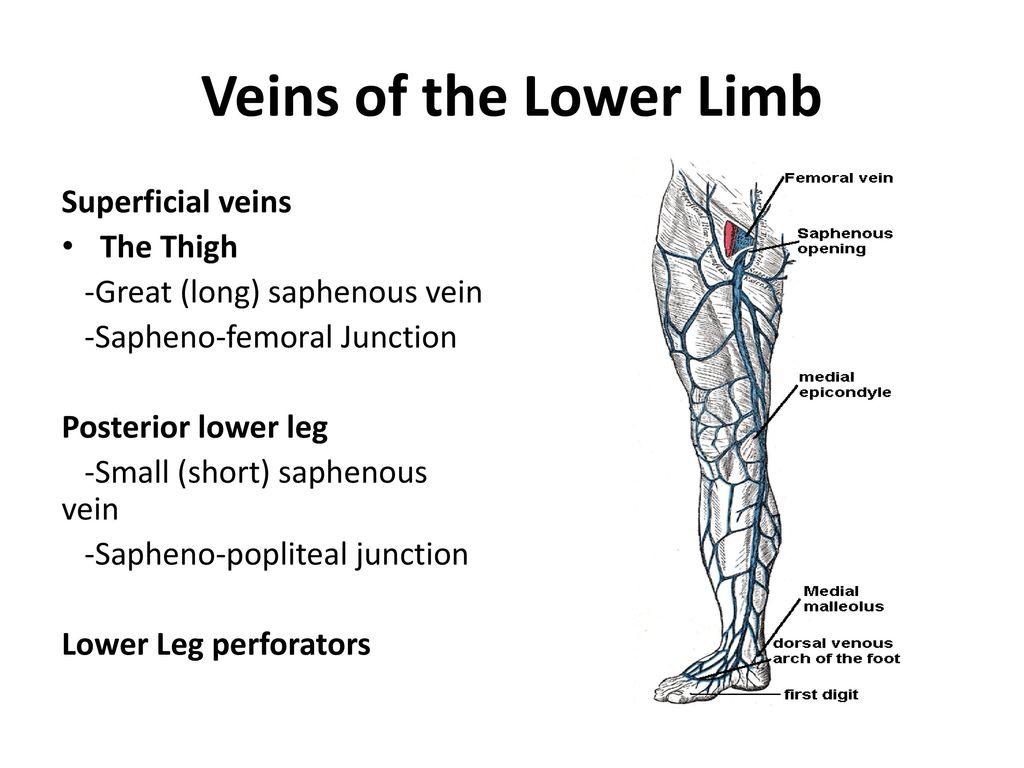 Vein Of Giacomini Anatomy Gallery - human body anatomy