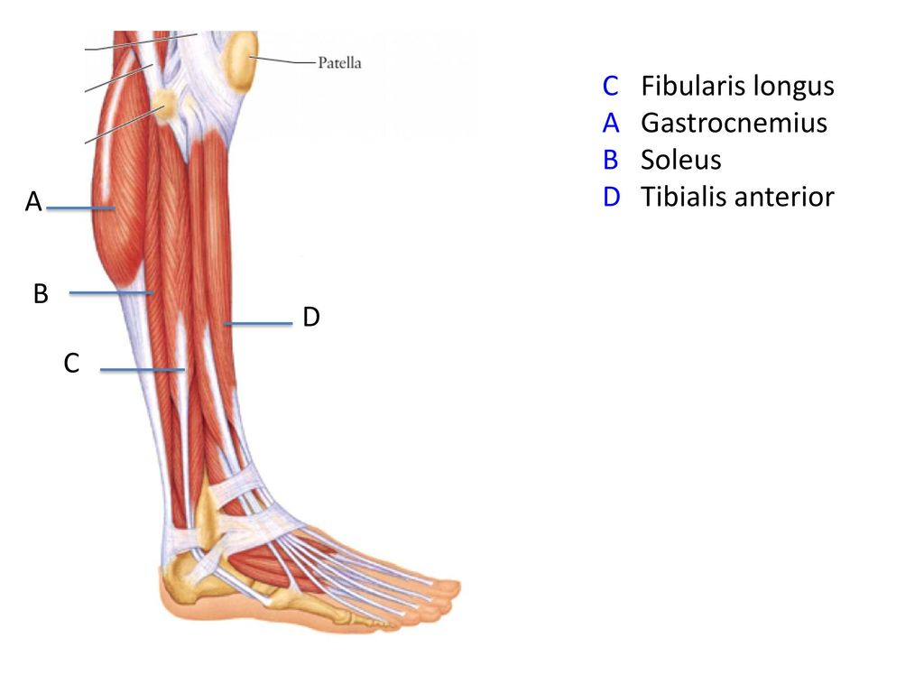 fibularis longus pain - HD 1024×768
