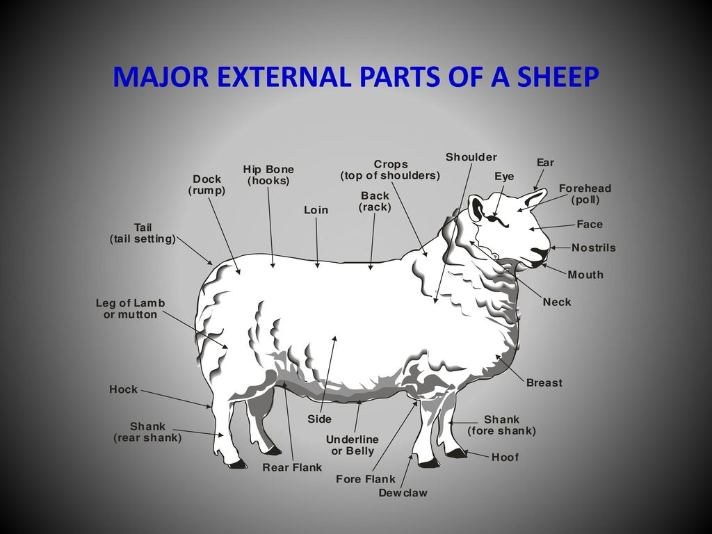 Exploring Livestock Sheep Ppt Video Online Download