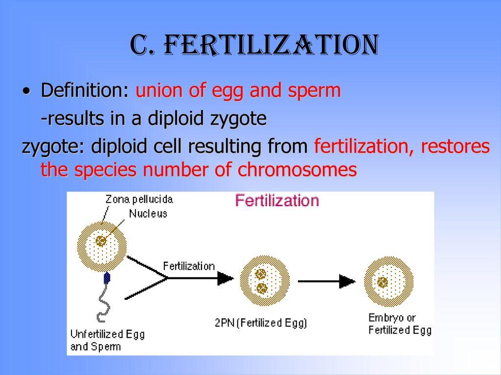 Egg and sperm fertilization process — photo 8