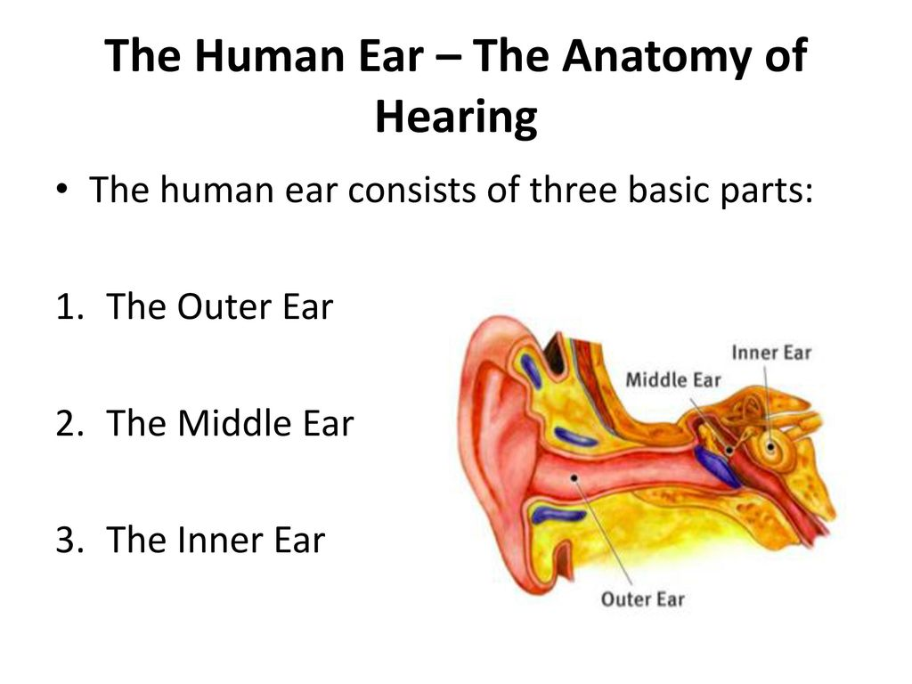 Hearing and the Human Ear - ppt video online download