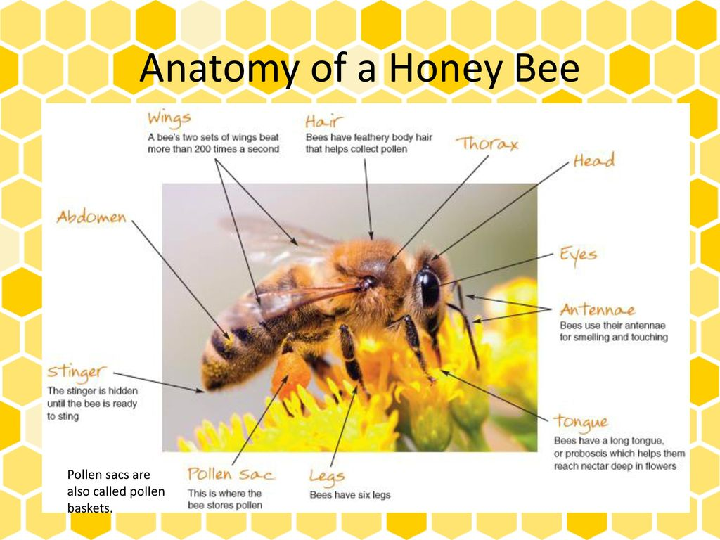 Colorful Anatomy Of A Bee Picture Collection - Human Anatomy Images ...