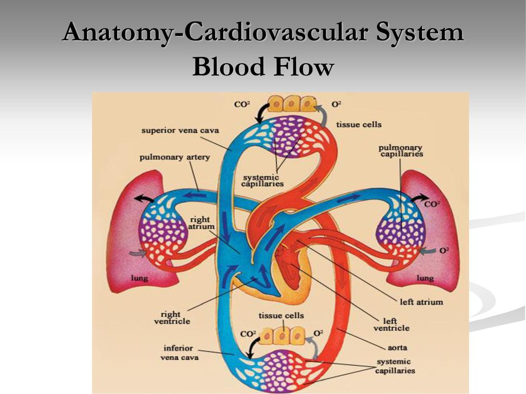 Anatomy-Cardiovascular System - ppt download