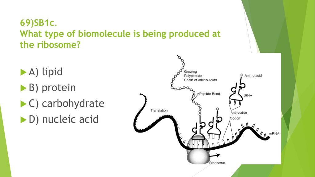 69)SB1c. What type of biomolecule is being produced at the ribosome