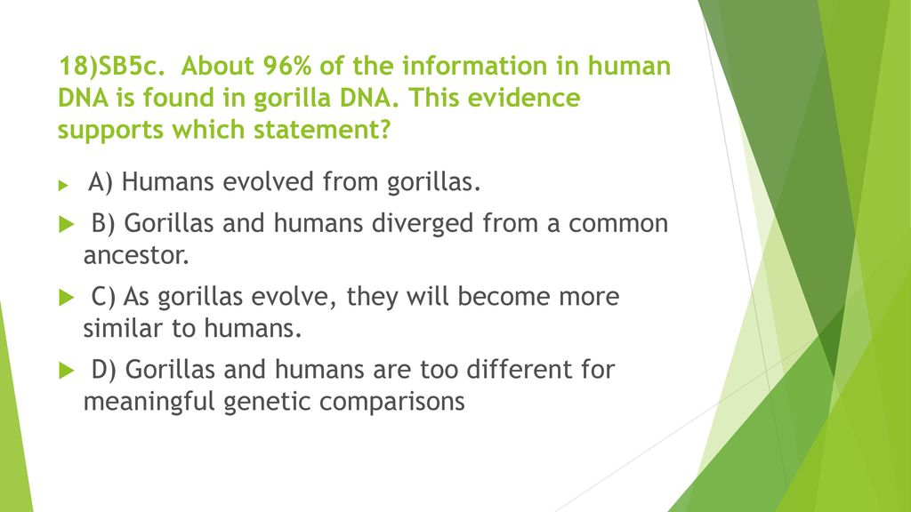 B) Gorillas and humans diverged from a common ancestor.