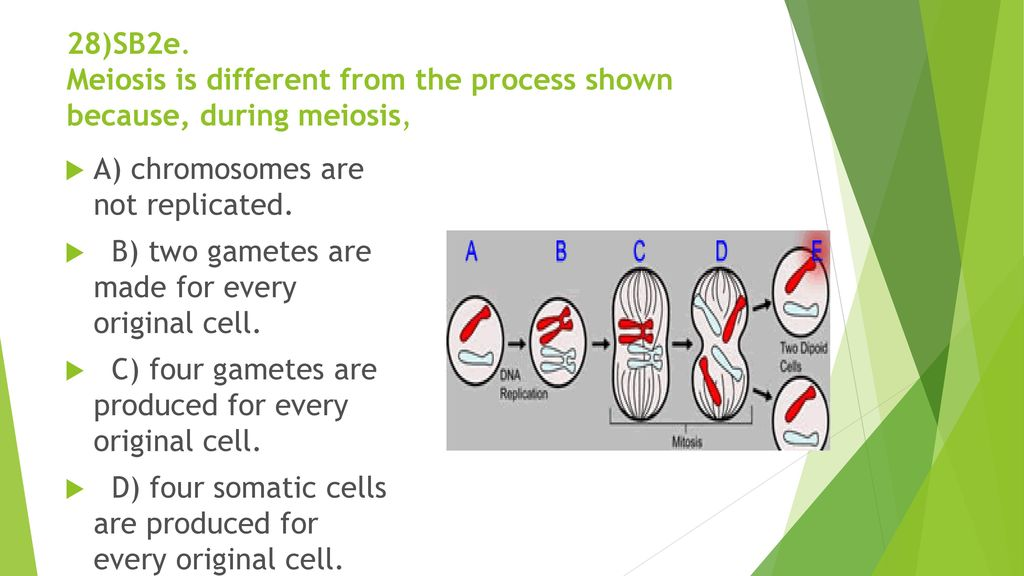 28)SB2e. Meiosis is different from the process shown because, during meiosis,