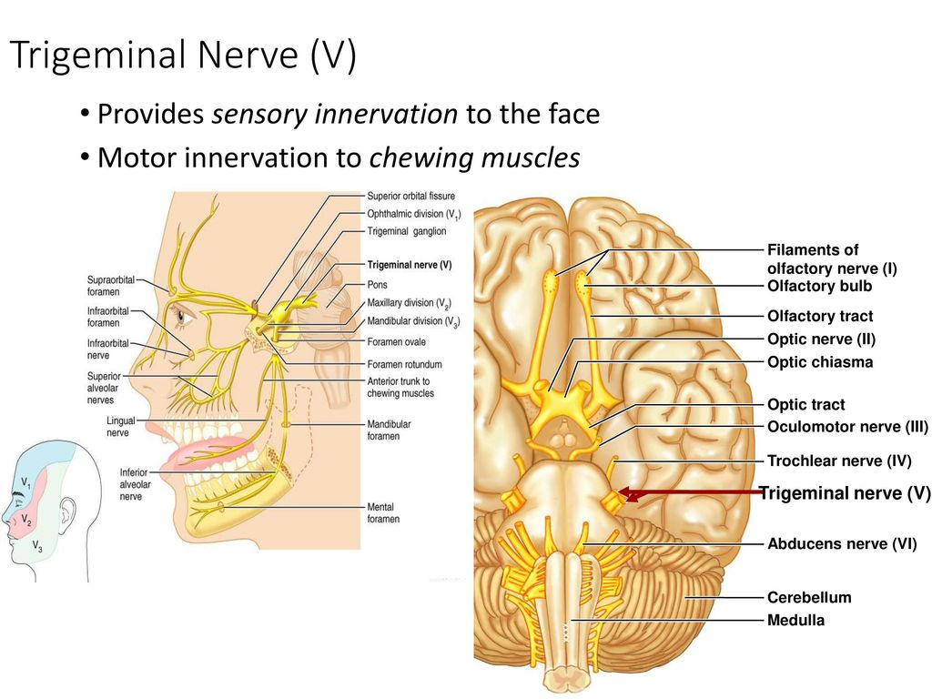 The Peripheral and Autonomic Nervous System - ppt download