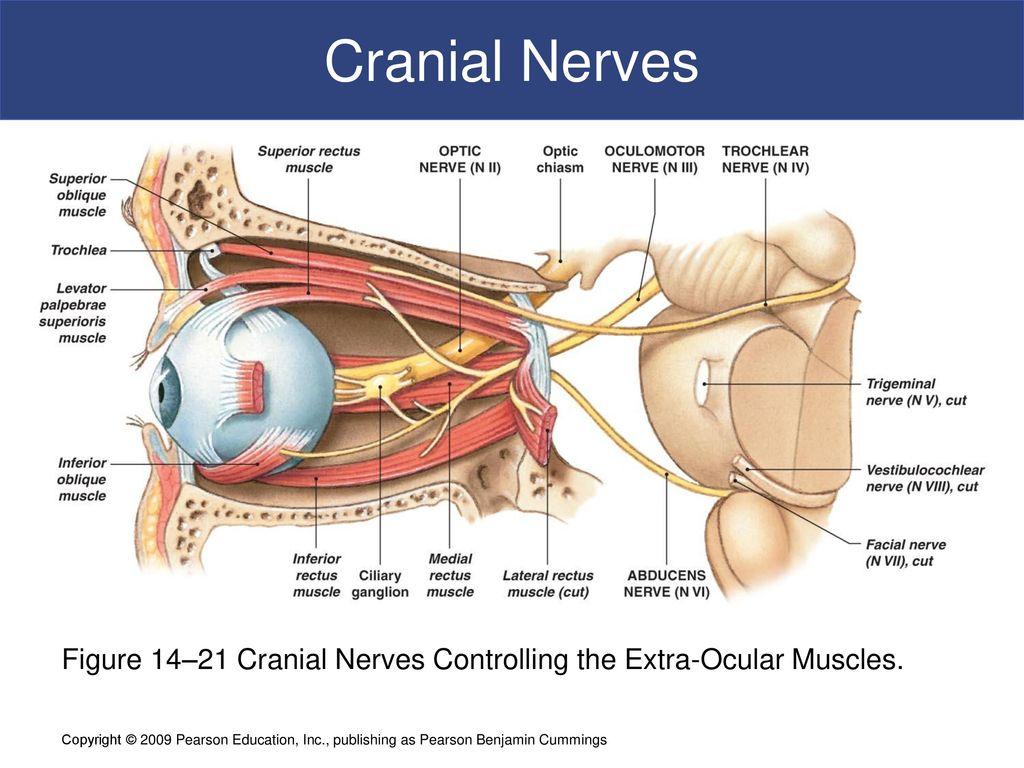 14 The Brain and Cranial Nerves C h a p t e r - ppt download