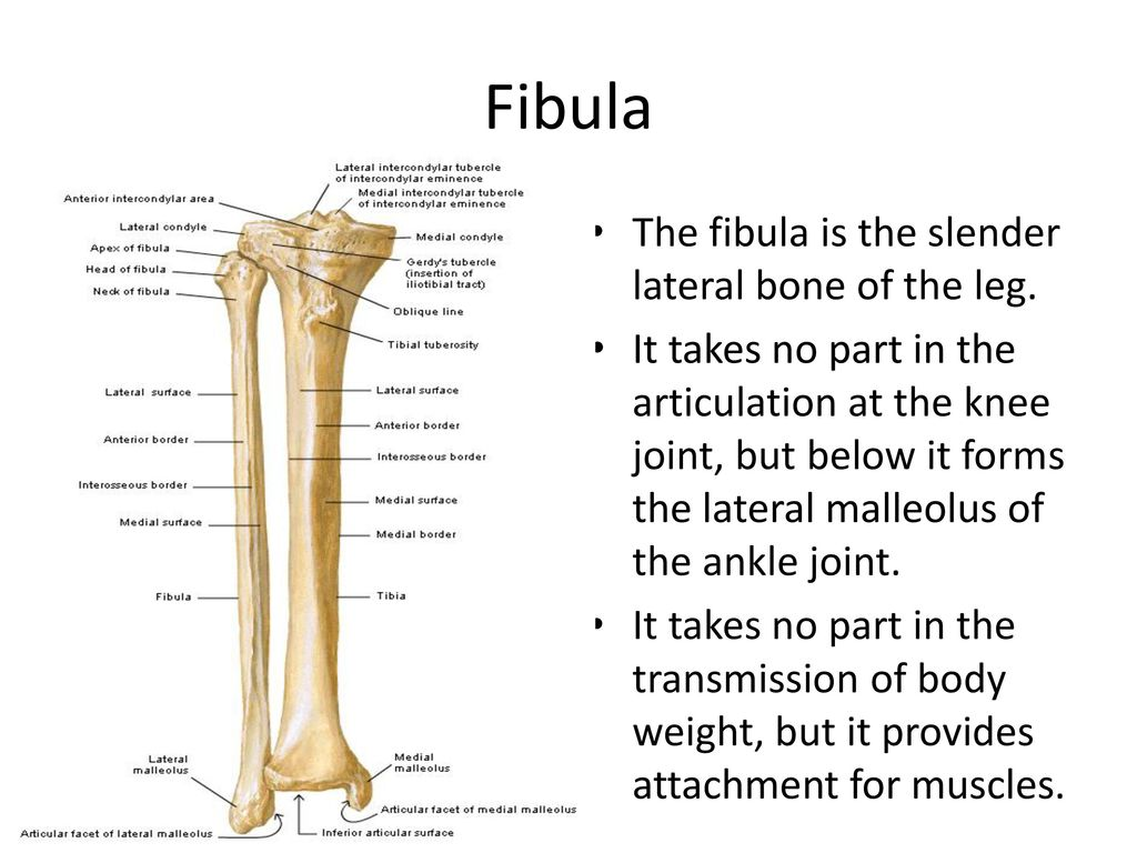 The Skeleton Of The Lower Limb Ppt Download