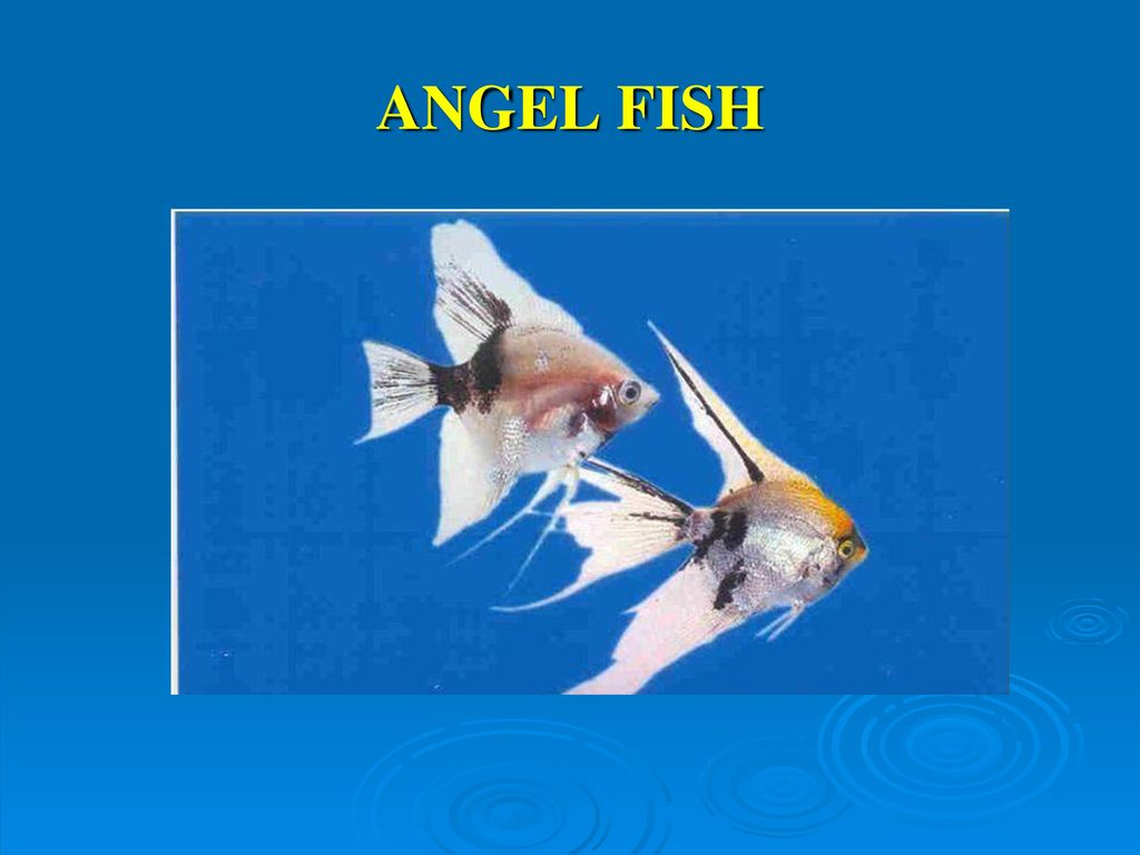 BIOASPECTS OF ORNAMENTAL FISHES - ppt video online download