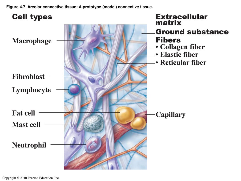 Definition of connective tissue - ppt download