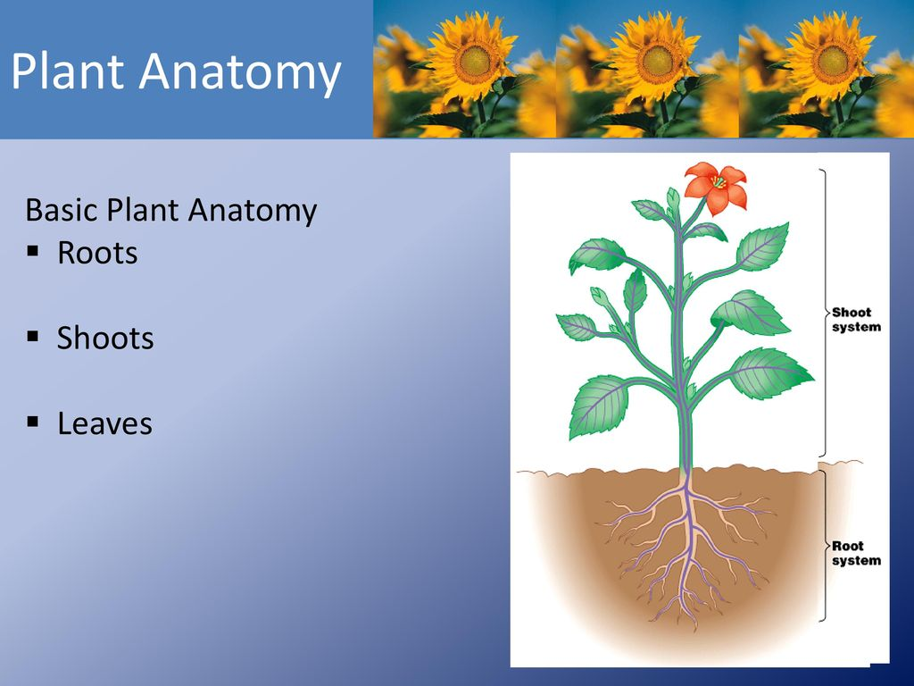 MONOCOTS / DICOTS / XYLEM / PHLOEM - ppt download