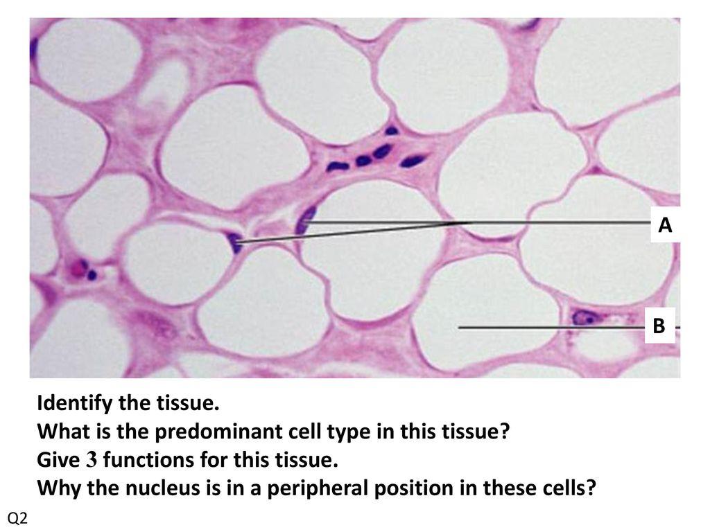 connective tissue slides quiz