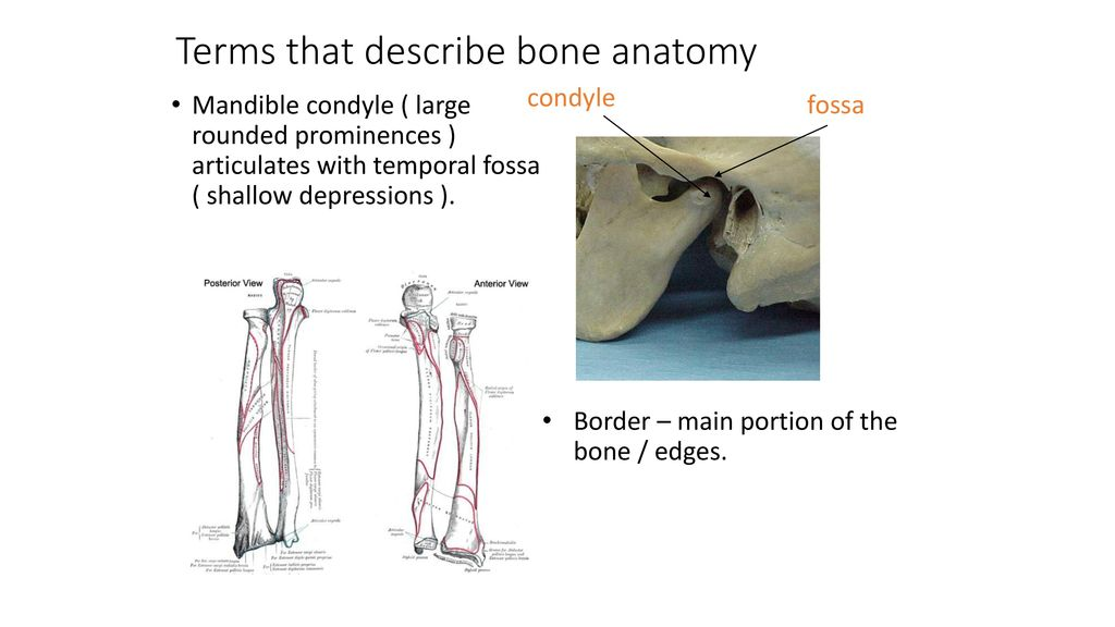 Anatomy of Bone Periosteum – Outer layer - ppt download