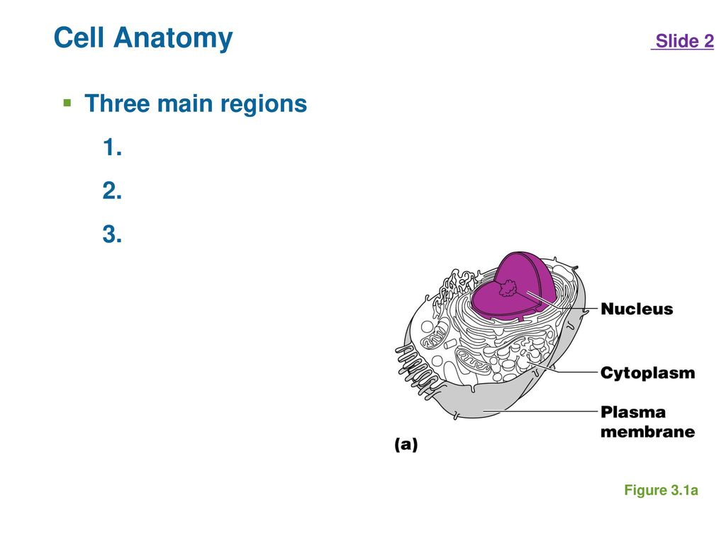 CH. 3 THE CELLULAR LEVEL OF ORGANIZATION - ppt download