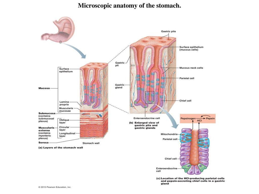 BIOL 204 Lab For Week 12 Digestive System Anatomy - ppt download