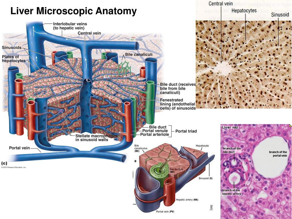 The Microscopic Anatomy Of Liver Diagram - Block And Schematic ...