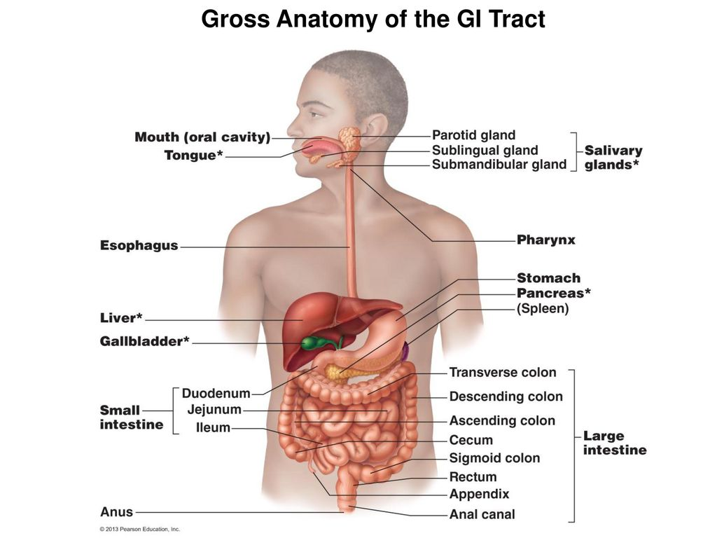 Biol 204 Lab For Week 12 Digestive System Anatomy Ppt Download