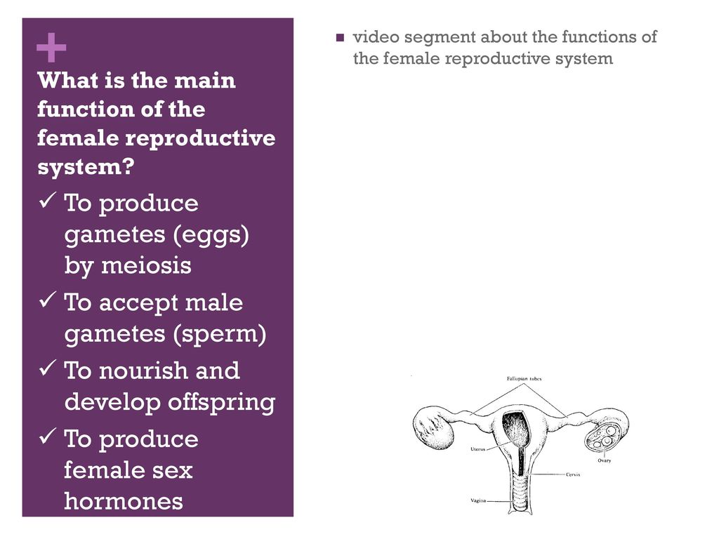 343 Female Reproductive System Ppt Download
