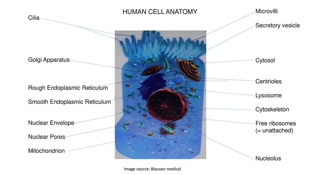 Human Cell Biology And Physiology Ppt Download