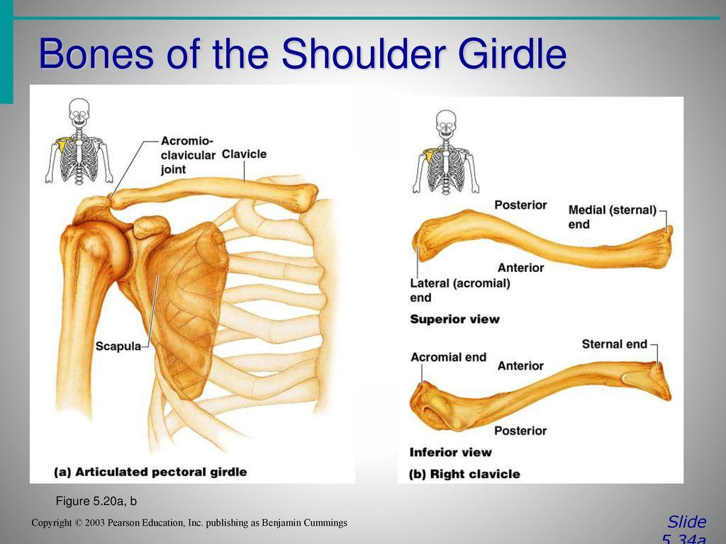 The Skeletal System Presented By: Dr. Ajit Singh Yadav - ppt video ...