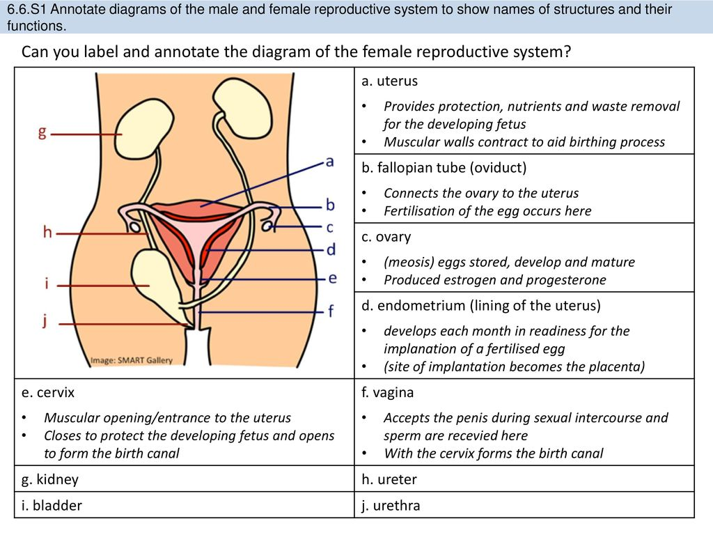 Diagram Of The Female Reproductive System With Functions Diy