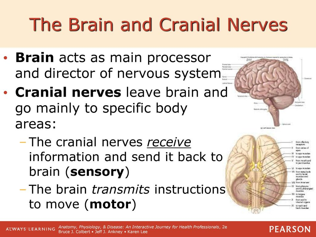 nervous system practice quiz Test your knowledge this is a 5 minute quiz that covers axons, spinal cord, brain structures, and cranial nerves.