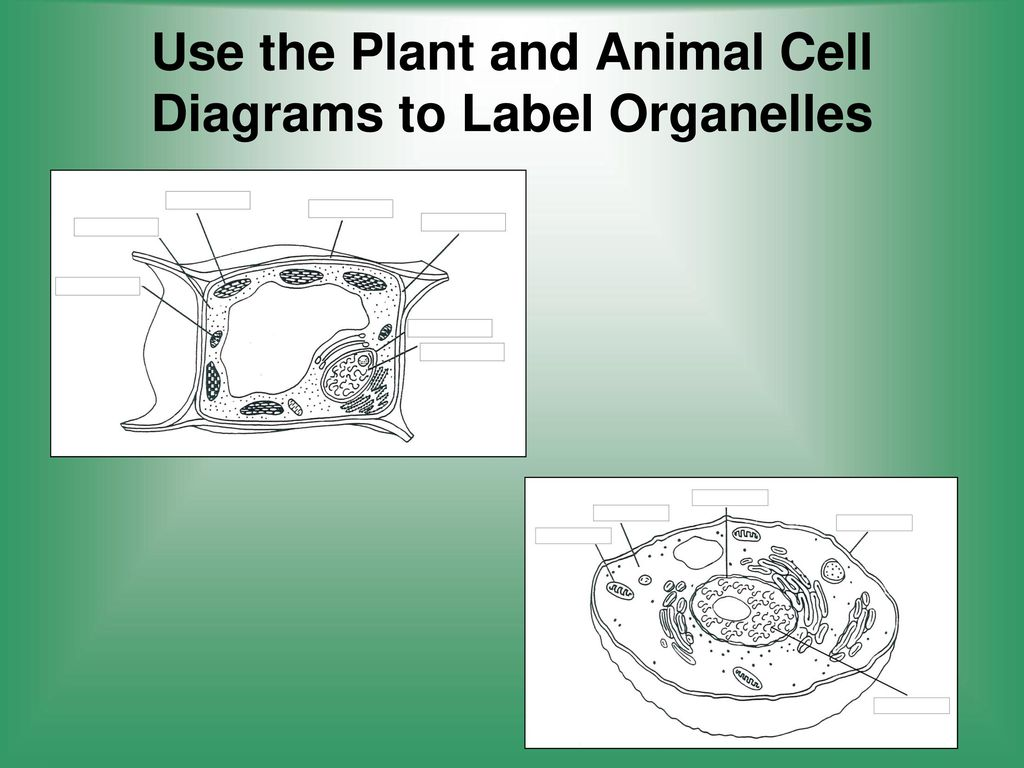 Cells structure and function ppt video online download use the plant and animal cell diagrams to label organelles ccuart Image collections