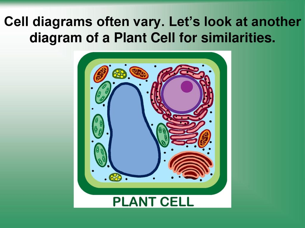 Cells Structure And Function Ppt Video Online Download Plant Cell Diagram Labeled Additionally Organelles 23 Diagrams Often Vary
