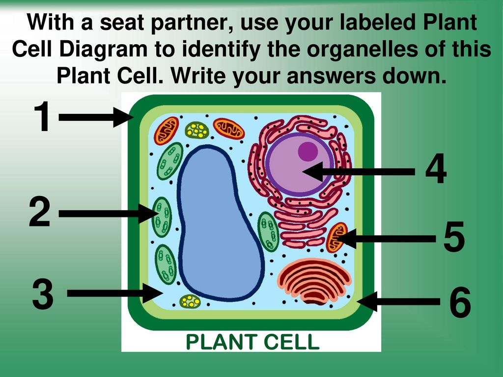 Cells structure and function ppt video online download with a seat partner use your labeled plant cell diagram to identify the organelles of ccuart Image collections