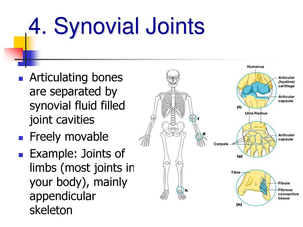 Articular Bones Separated By A Fluidfilled Joint Cavity Diagram ...
