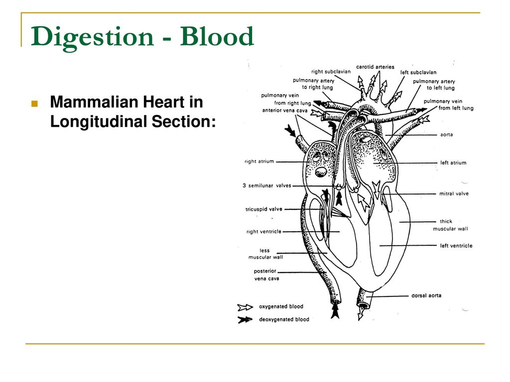 For advs 1110 introduction to animal science ppt download 69 digestion blood mammalian heart in longitudinal section ccuart Image collections