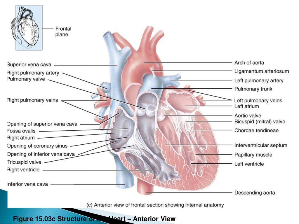 Cow Heart Anatomy