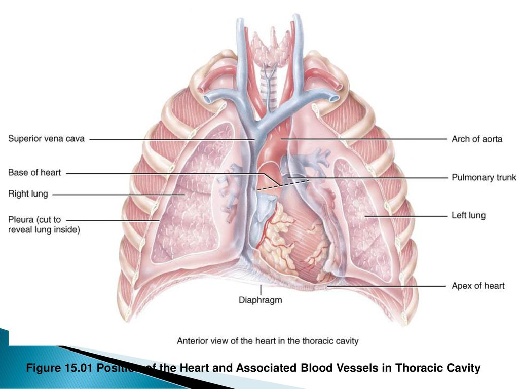Cardiac Chest Cavity Diagram Block And Schematic Diagrams