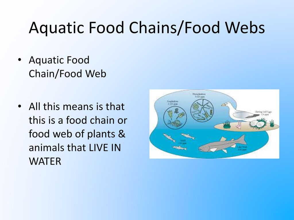 Aquatic+Food+Chains%2FFood+Webs flow of energy through food chains ppt download