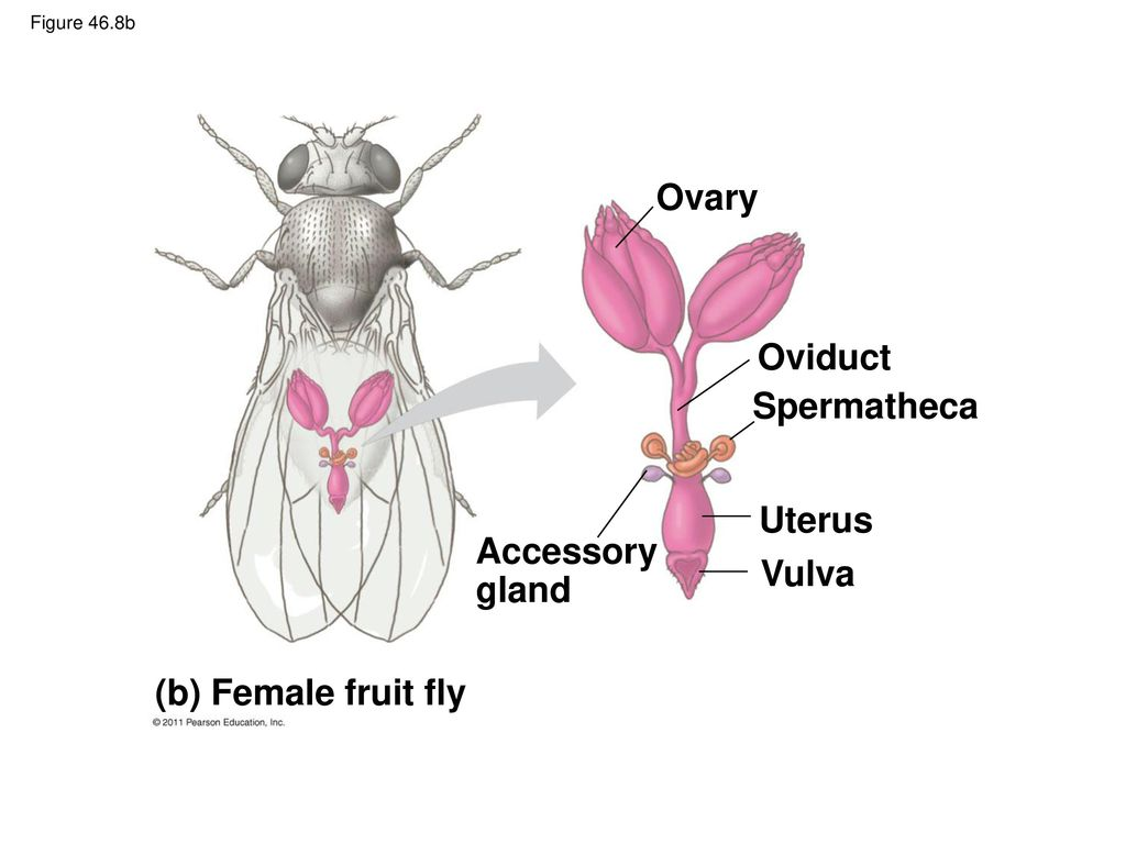 Fruit fly asexual reproduction advantages