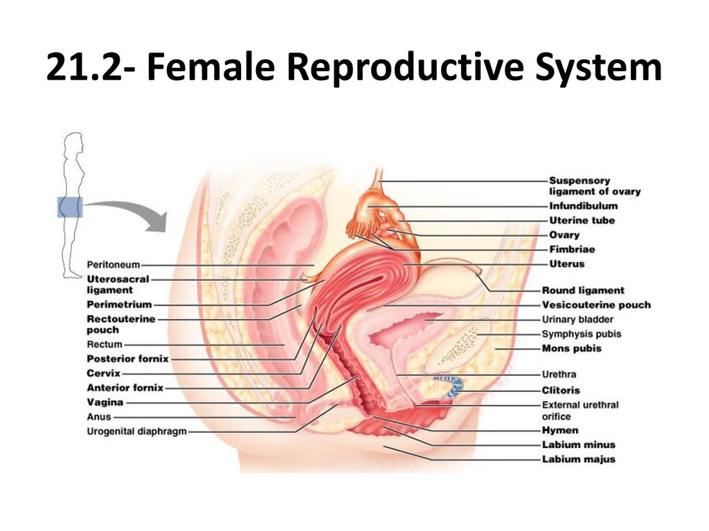 Hymen Female Anatomy Choice Image - human body anatomy