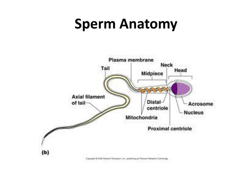 The Reproductive System Overview - ppt download